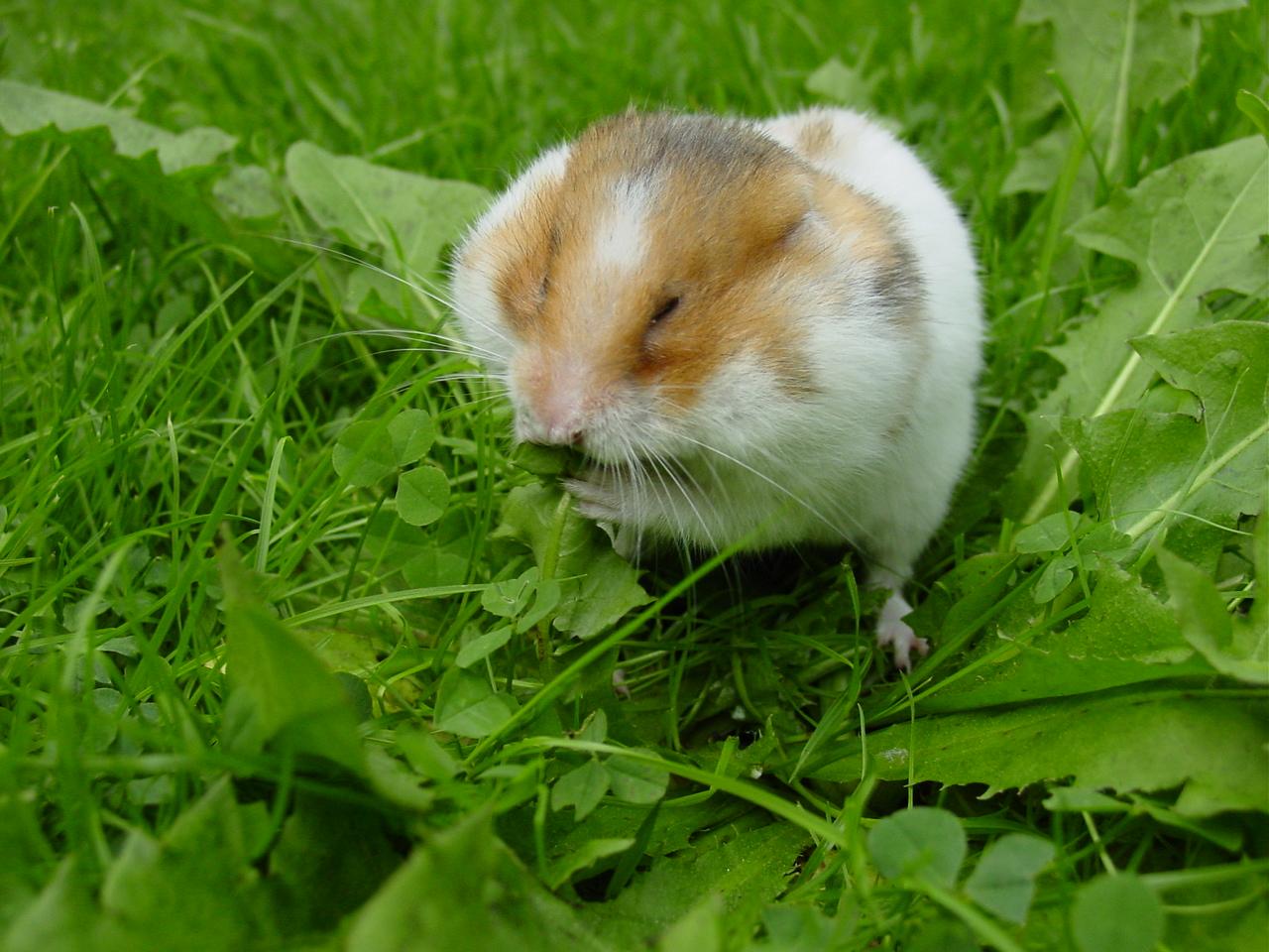 syrian_hamster.jpg